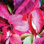 Fuchsia Foliage